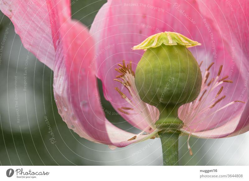 Mohnblüte Mohnblume Natur Blume Pflanze Sommer Blüte rot Außenaufnahme Wiese Mohnfeld Menschenleer Klatschmohn mohnwiese mohnkapseln roter mohn Farbfoto