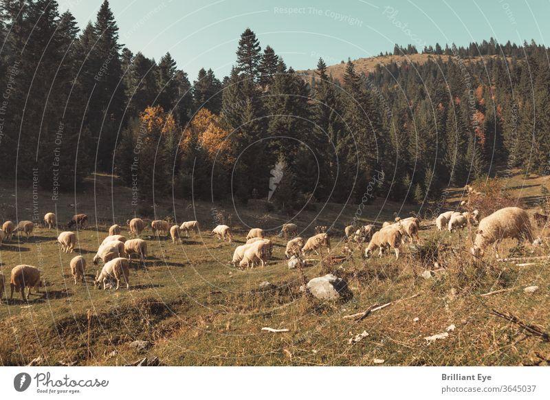 weidende Schafherde Schafe Ökologie Europäer Abend im Freien idyllisch Tal friedlich Freiheit Landschaft Umwelt schön Feld Wiese Ansicht Landwirtschaft Weide