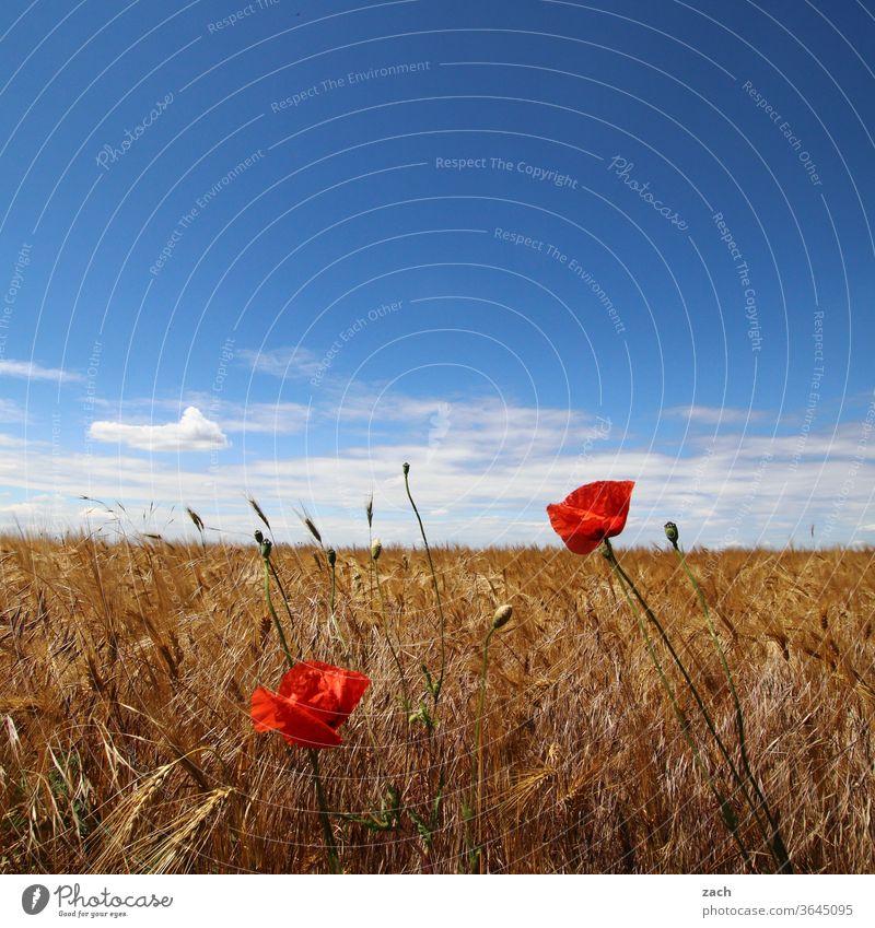 7 Tage durch Brandenburg - die ganze Palette Feld Ackerbau Landwirtschaft Gerste Gerstenfeld Getreide Getreidefeld Weizen Weizenfeld gelb blau Himmel Wolken