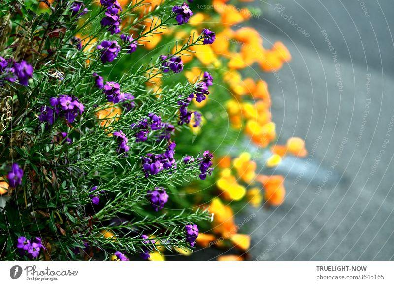 Direkt neben der dankbar grauen Asphaltstraße jubeln kräftige Blumen ihr Sommerlied im Duett: in höchstem Sonnengelb leuchtendem Sopran verstärken sie den  zweistimmig dunkleren, grün und violett schimmernden Altus des Schopf-Lavendel.