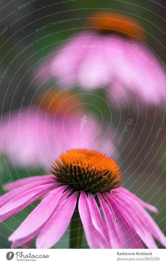 Coneflower Nahaufnahme Echinacea Sonnenhut Zapfen purpurea rosa grün natürlich Natur Wildblume Blume Garten Gartenarbeit mehrjährig Pflanze Makro Blütezeit