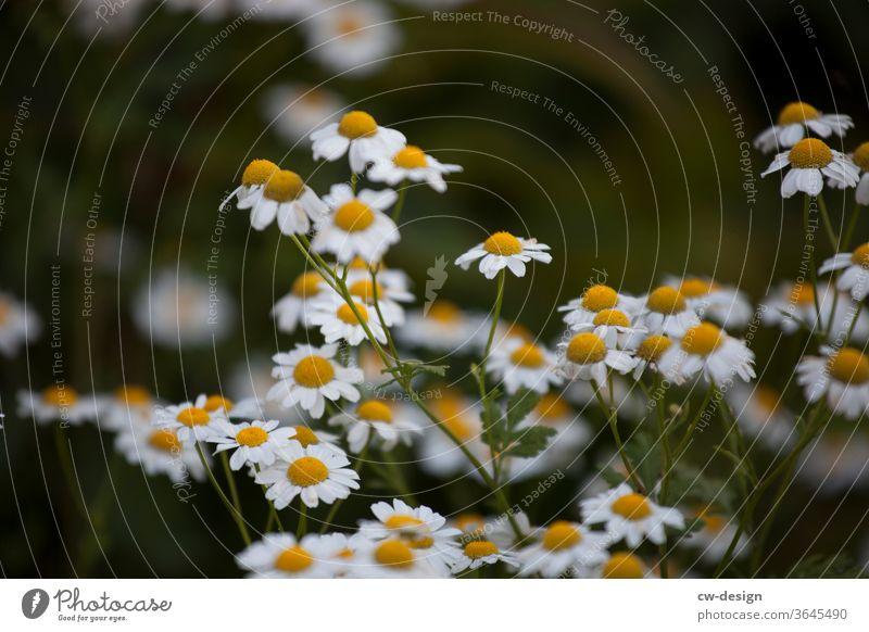 Kamille im Garten Gänseblümchen Blume Sommer Frühling weiß Blütenblatt Natur Pflanze geblümt Hintergrund Korbblütengewächs frisch romantisch schön gelb