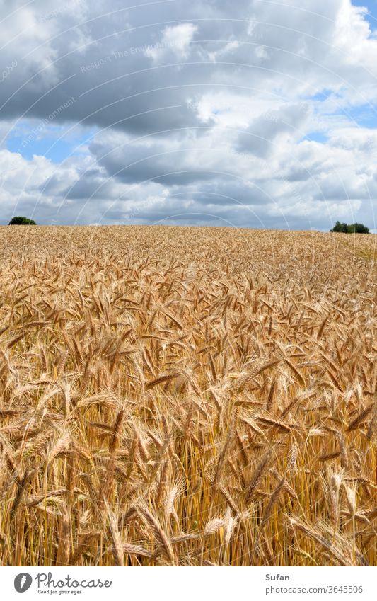 Getreidefeld Feld Gerstenfeld Sommer Sommertag Himmel wolkenlandschaft gelb blau-grau Horizontlinie Ernte Körner Ähren Stroh Sonnenlicht Landwirtschaft