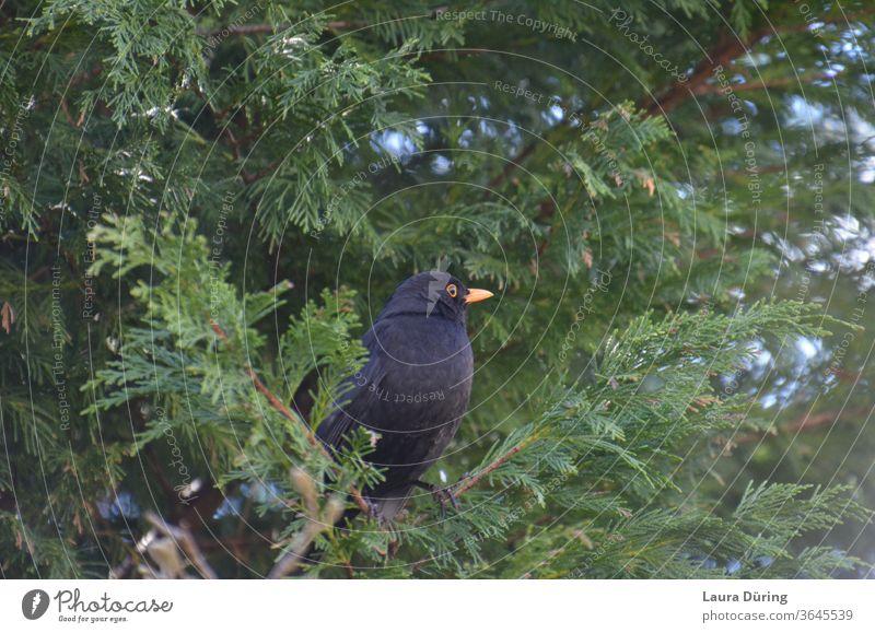 Amsel Männchen in einer Tanne schwarz Gefieder Vogel Tier Natur Wildtier Umwelt grün Garten Tierporträt natürlich Tannenzweig Tannennadel Baum Nahaufnahme Blick
