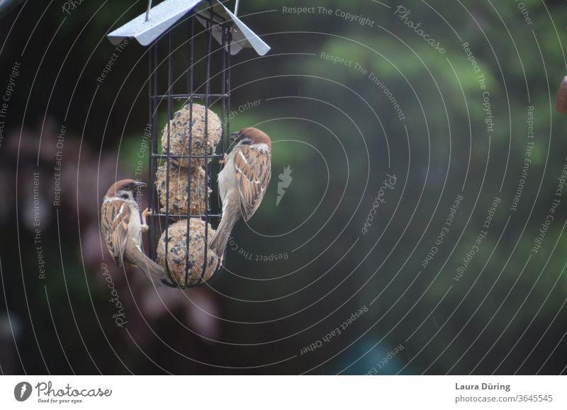 Zwei Spatzen hängen an Meisenknödeln Sperlingsvögel Naturschutz Vogel Tierschutz Futter füttern Futterplatz Nahrungssuche Außenaufnahme Wildtier Fressen Hunger