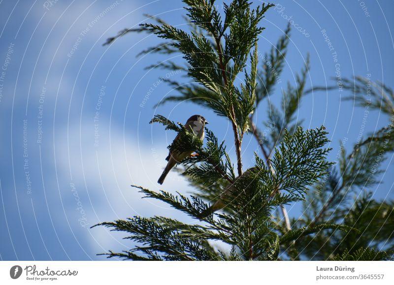 Spatz hoch oben in einer Tanne Sperlingsvögel Vogel Tier Außenaufnahme Natur Wildtier Tannenzweig Tannennadel Baum Baumspitzen klein Himmel blau klar