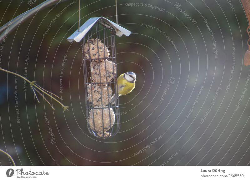 Kleine Blaumeise an Futterstelle Naturschutz Vogel Tierschutz füttern Meisenknödel Futterplatz Nahrungssuche Außenaufnahme Wildtier Fressen Hunger hungrig