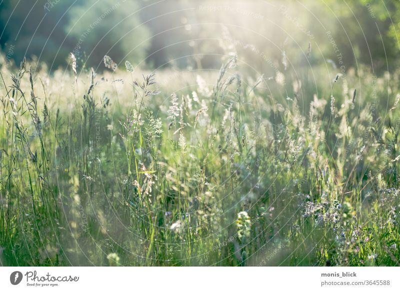 Wiese im Gegenlicht Abenddämmerung Abendstimmung Allacher Haide Au München Sommer Wiesengräser grün Außenaufnahme Farbfoto Natur Himmel Sonnenuntergang
