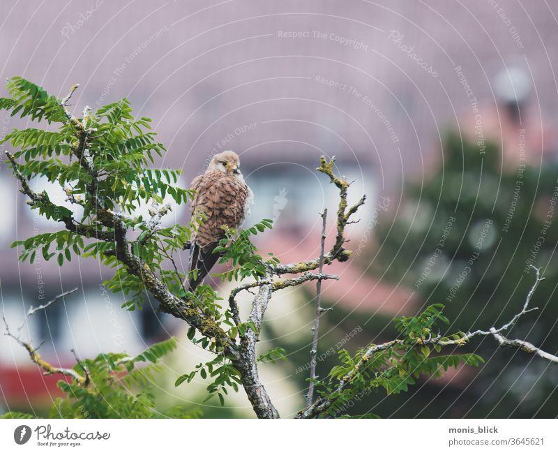 Turmfalke auf Beutesuche Vogel Tier Falken Außenaufnahme Natur Farbfoto Tag natürlich Greifvogel Feder Jagd Schnabel Ornithologie Stolz braun beobachten Auge