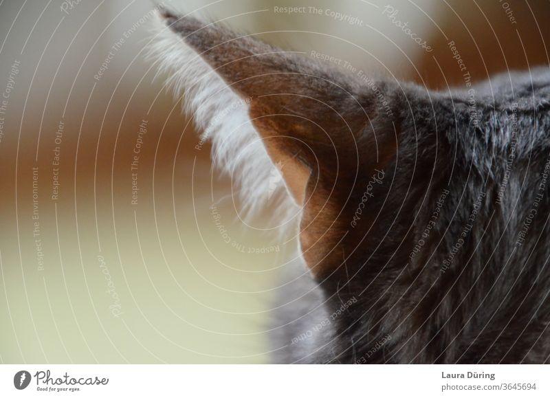 Katzenohr Nahaufnahme Ohr Geräusch lauschen horchen Licht Tier Haustier Fell Hauskatze Innenaufnahme Katzenkopf beobachten Fokus Haare spitz friedlich