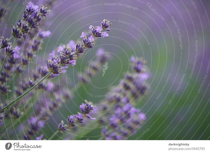 Lavendel Blüte mit ruhigem Hintergrund Makroaufnahme Nutzpflanze natürlich Frühling Menschenleer beruhigend Unschärfe Schwache Tiefenschärfe Umwelt lavendar