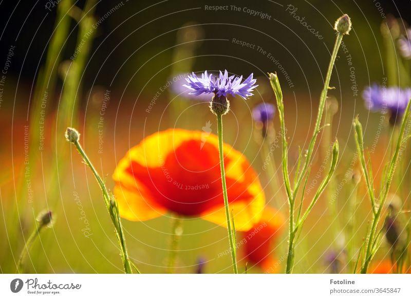 Ach mensch, heute ist doch Mo(h)ntag! - oder eine Monhblume versteckt sich schüchtern hinter Kornblumen. Hilft nur nichts. Sie leuchtet einfach zu schön.