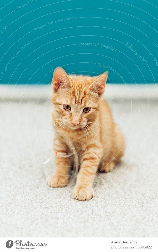 Süßes Ingwer-Kätzchen sitzt Katzenbaby niedlich sich[Akk] entspannen Decke Haustier Baby heimwärts gemütlich Komfort aussruhen fluffig schlafen bezaubernd Kind