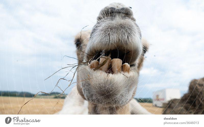 Zirkus Kamel Camel Nähe jung Tier reisen Natur Säugetier Dromedar wild Safari Gras Essen Zähne Zahnarzt Augenbraue Schnauze Kinn