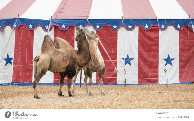 Zirkus Kamele Camel Liebe Paar itim Freund Nähe Partner romantisch Partnerschaft Zusammensein jung Romantik Fröhlichkeit Tier Zelt
