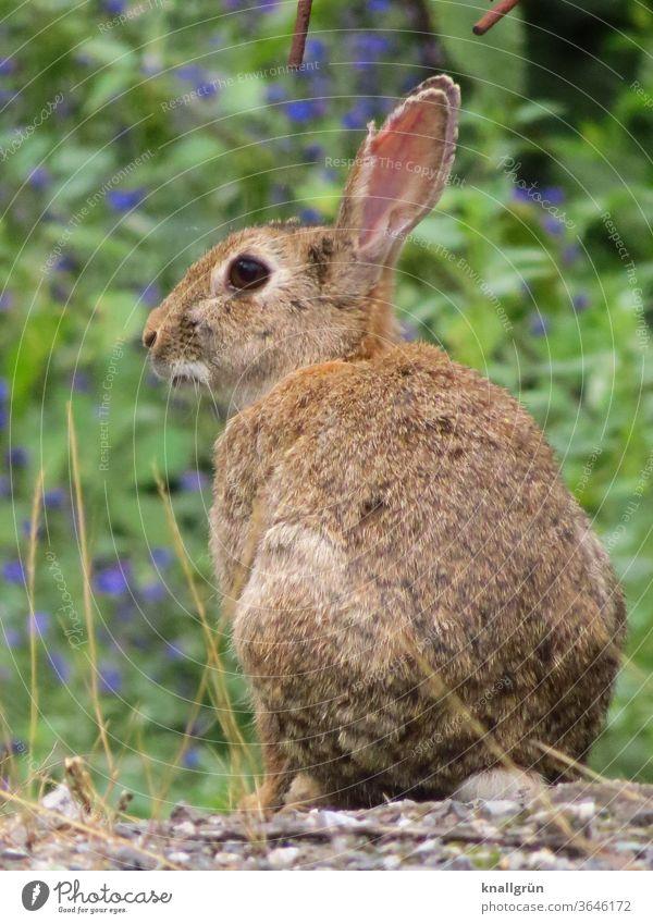 Nahaufnahme eines Wildkaninchens, zur Seite blickend Hase & Kaninchen Wildtier Tierporträt 1 Außenaufnahme niedlich Fell Ohr Natur Tiergesicht kuschlig