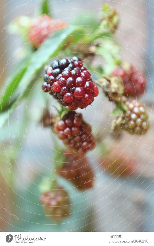 hängende noch unreife Brombeeren am Strauch Beeren Waldfrüchte gesund lecker Rosengewächse Vitaminspender Dornen Kletterpflanze Reifestadium schwarz bordeaux