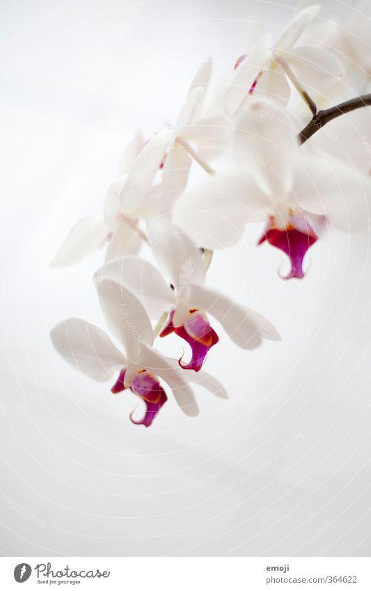 18oo Umwelt Natur Pflanze Blume Orchidee Blüte Topfpflanze exotisch natürlich rosa weiß Farbfoto Gedeckte Farben Innenaufnahme Nahaufnahme Detailaufnahme