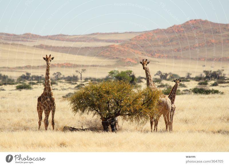 Giraffenfamilie Natur Landschaft Wolkenloser Himmel Horizont Schönes Wetter Baum Gras Sträucher Namib Tier 3 Tierfamilie gelb Farbfoto Außenaufnahme