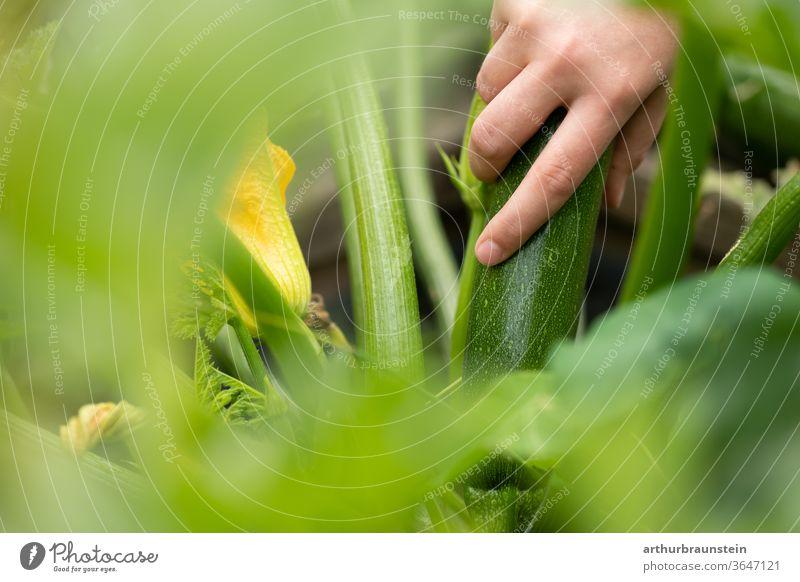 Junge Frau erntet frische Zucchini aus dem Garten Gemüse Lebensmittel Zucchinipflanze Zucchiniblüte ernährung ernten essen natur garten bio hobby Eigenanbau