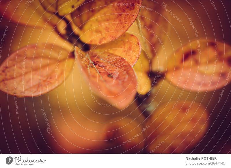 Strauchblätter im Herbst Blätter Herbstlaub herbstlich Herbstfärbung Blatt Farbfoto Außenaufnahme Natur Pflanze bromn orange gelb Wald Herbstwald