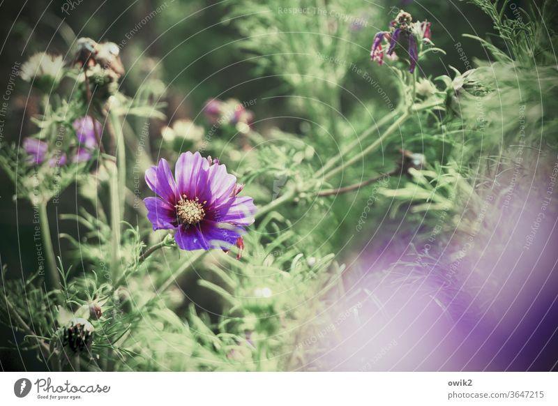 Cosmisches Leuchten Umwelt Natur Landschaft Pflanze Sommer Blüte Sträucher Blume Schönes Wetter Blütenblatt Schmuckkörbchen Garten Wiese Wachstum leuchten
