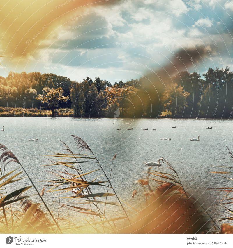 Sich treiben lassen Schwan See draußen verträumt Blätter windstill geheimnisvoll Bäume Wasser Wasseroberfläche Panorama (Aussicht) leicht bewölkt Totale