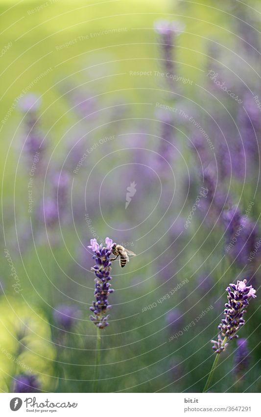 Biene sitzt an Lavendelblüte im Lavendelfeld und sammelt Pollen, für Honig. Arbeitsbiene in violetter, lila, grüner Blumenwiese mit Bokeh und Blüten vom Lavendel. Sommerliches Feld mit schwacher Tiefenschärfe im Sommerurlaub, in der Provence, Frankreich.