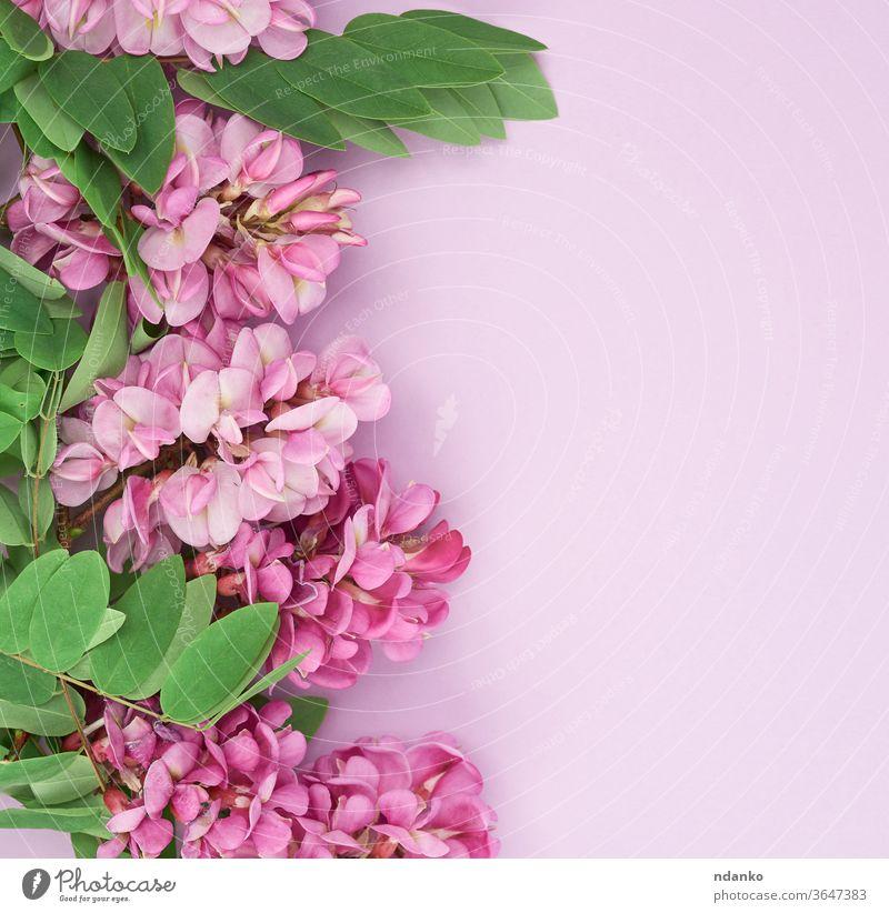 blühender Zweig Robinia neomexicana mit rosa Blüten auf violettem Hintergrund Hochzeit Feiertag Fliederbusch Blatt Akazie schön Schönheit schwarz Blütezeit