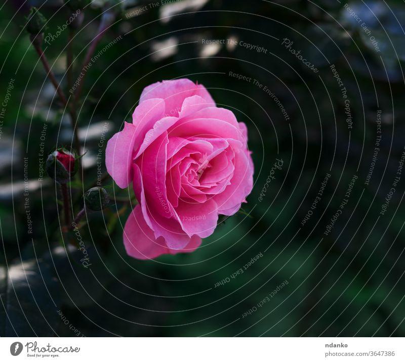 Knospe einer blühenden rosa Rose im Garten an einem Sommertag Roséwein saisonbedingt Single Frühling Hintergrund schön Schönheit Blütezeit Überstrahlung