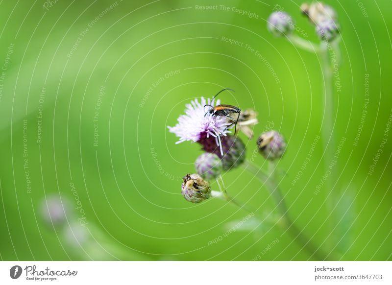 Duft nach Honig am Grünen Wegesrand Insekt grün Natur Sommer Ackerdistel Diestel nah Knospen Blüte Blume natürlich Unschärfe Wildpflanze Lebensraum Blühend