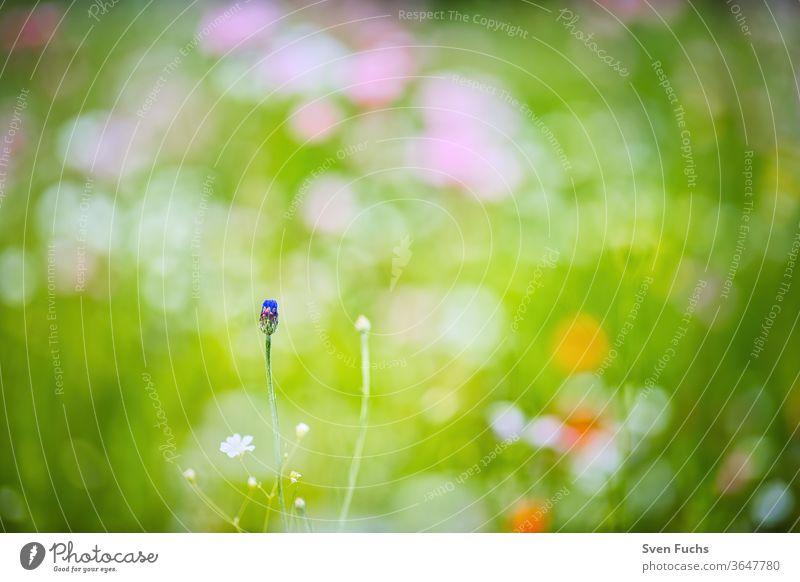 Auf einer bunten Frühlingswiese steht eine einzelne Kornblume, die kurz vor dem Aufblühen ist frühlingswiese kornblume farbig idylle natur bokeh unschärfe