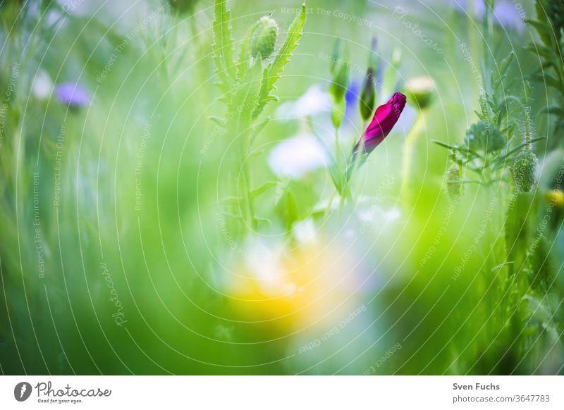 Eine rote Wildblume die kurz vor dem Erblühen ist frühlingswiese wildblume idylle natur bokeh unschärfe tiefenschärfe sommer pflanze grün garten gras frisch