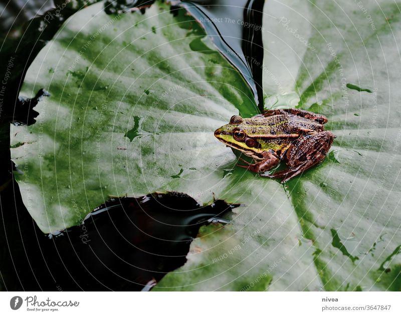 Frosch auf Blatt Teich Wasser Tier grün Natur Außenaufnahme Kröte Farbfoto Amphibie Froschkönig Nahaufnahme Wassertropfen Quaken braun Auge Gewässer Kaulquappe