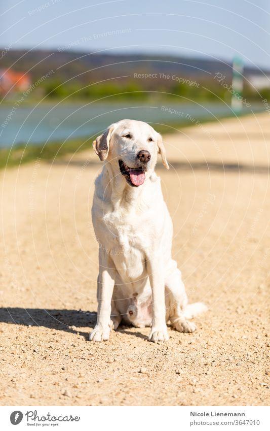 labrador sitzt auf einem weg Labrador sitzen Sitzen Hund im Freien Natur Weg Sonne Sonnenschein Spaziergang Kanal Wasser braun weiß