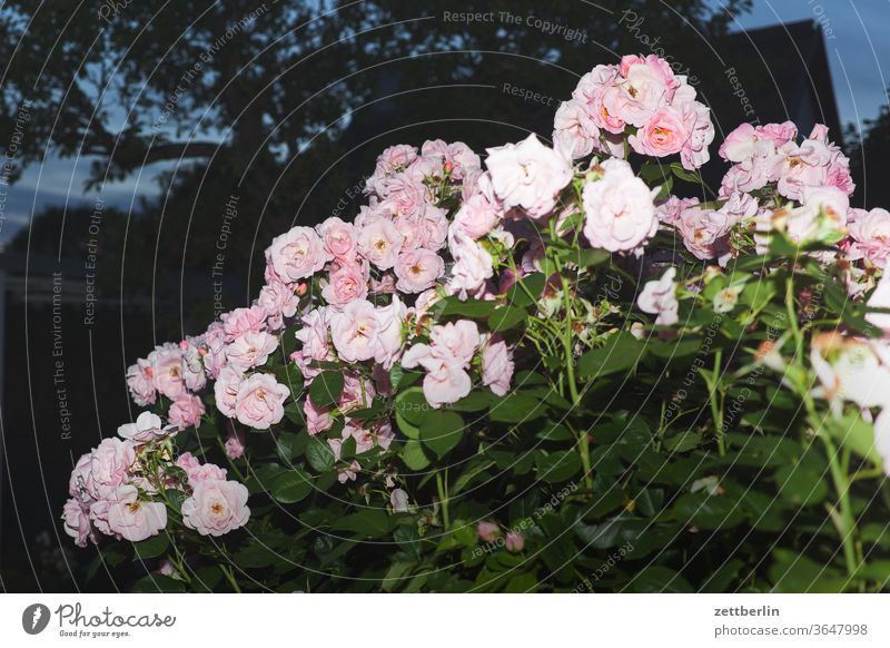 Rosen rose abend rosenblüte blitz blitzlicht blume blühen dunkel erholung ferien garten blütenblatt kleingarten kleingartenkolonie menschenleer nacht natur