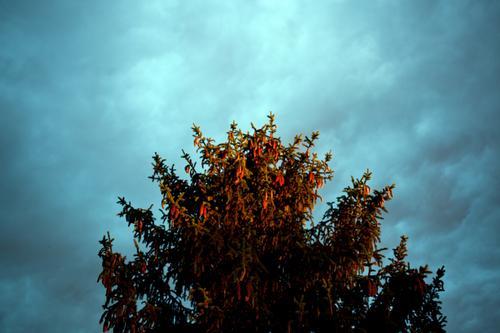 Spitze einer Fichte im Abendrot sonnenuntergang feierabend unwetter abendsonne tiefdruck regen wolke christbaum advent himmel weihnachten weihnachtsbaum zapfen
