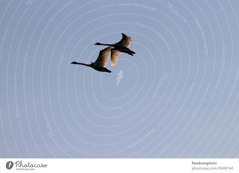 zwei nebeneinander fliegende Schwäne Schwan Flug Flügel Vogel elegant rückflug ästhetisch am himmel Himmel Silhouette Feder Sehnsucht sehnsuchtsvoll Freiheit