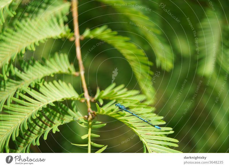 Urweltmammutbaum, Metasequoia glyptostroboides, Nadeln eines Coniferopsida mit Libelle Mammutbaum Tropische Szene Kreidezeit Umwelt Insekt Licht Tier Farbfoto