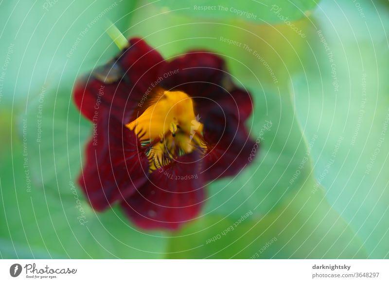 Tropaeolaceae Tropaeolum Kapuzienerkresse Kapuzinerkressengewächse Garten Heilpflanze rote purpurne Blüte Makro Nahaufnahme Blume schön grün Frühling