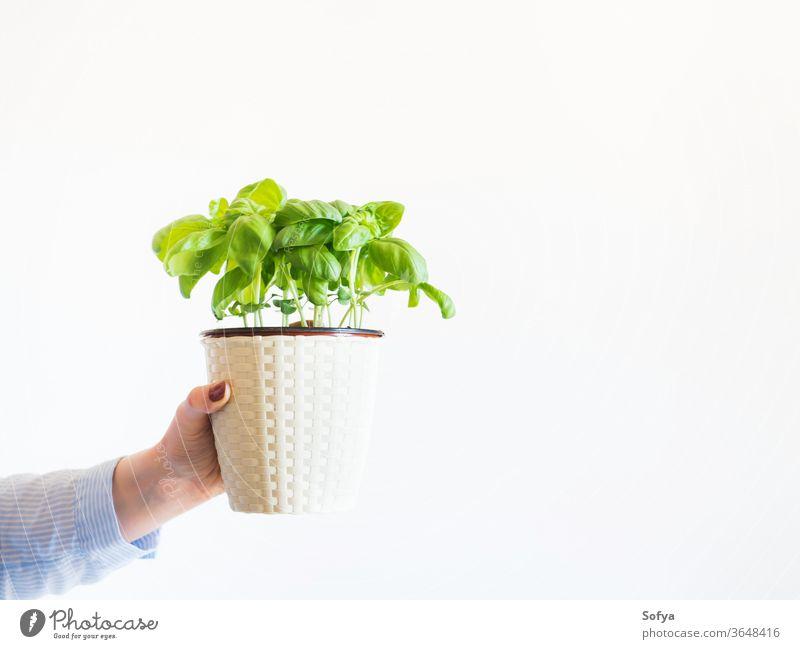 Topf mit selbst gezogenem Basilikum Frau Gartenarbeit heimwärts Konzept grün Pflanze Kraut Beteiligung Hand Hobby aromatisch Hintergrund Lebensmittel Person
