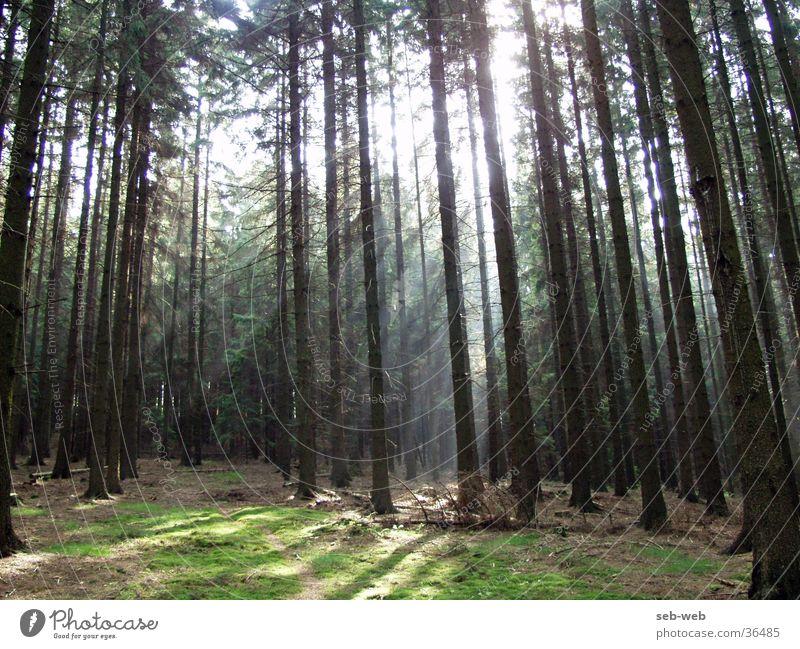 sunbeam Baum Wald Nebel Lichtstrahl