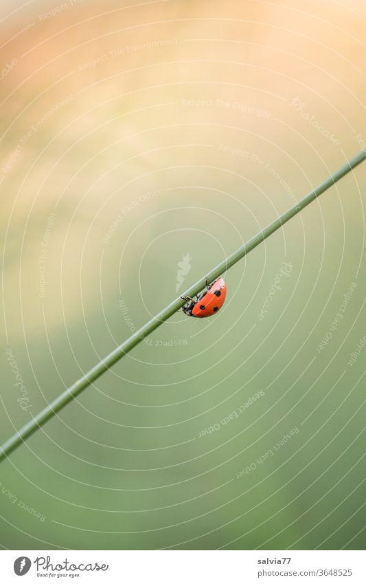 Marienkäfer krabbelt an Grasstängel abwärts Insekt Siebenpunkt-Marienkäfer krabbeln Käfer schräg Makroaufnahme Natur Glück Pflanze Stängel Hintergrund neutral