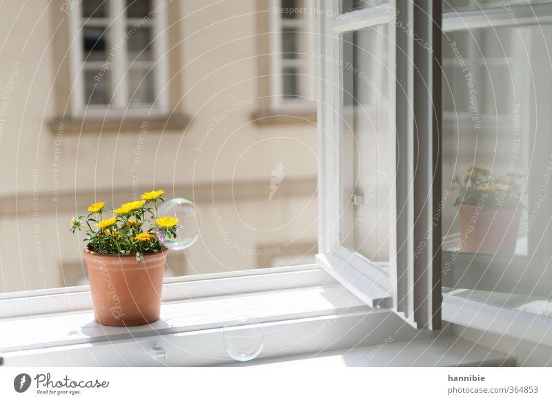 am fenster zum hof Pflanze Blume Fenster Freundlichkeit natürlich gelb weiß Natur Fensterbrett Topfpflanze Blumentopf Seifenblase Reflexion & Spiegelung