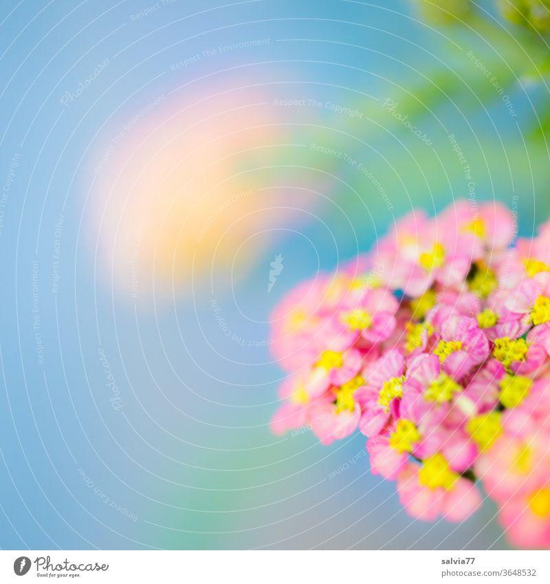 Leichtigkeit der Farben bluten Sommer Natur Blumen Pflanze bunt gemischt Garten Nahaufnahme Schafgarbe Achillea millefolium Pastell weich filigran Farbfoto