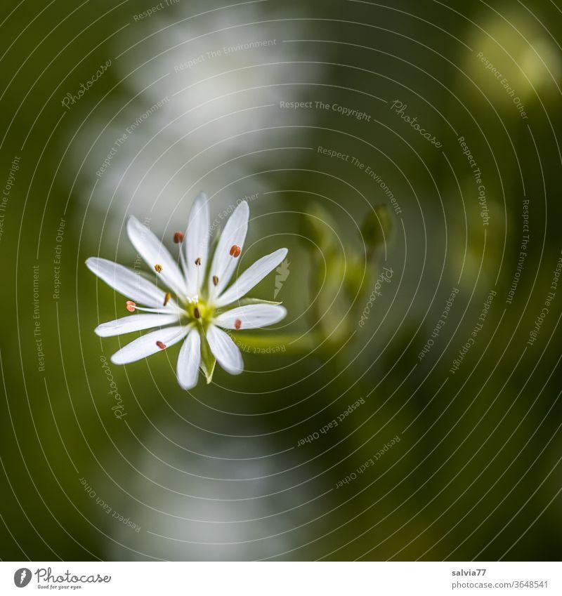 zartes Sternchen in weiß Blüte Pflanze Blume Sternmiere Natur Makroaufnahme Unschärfe Blühend filigran Stellaria Menschenleer Textfreiraum oben