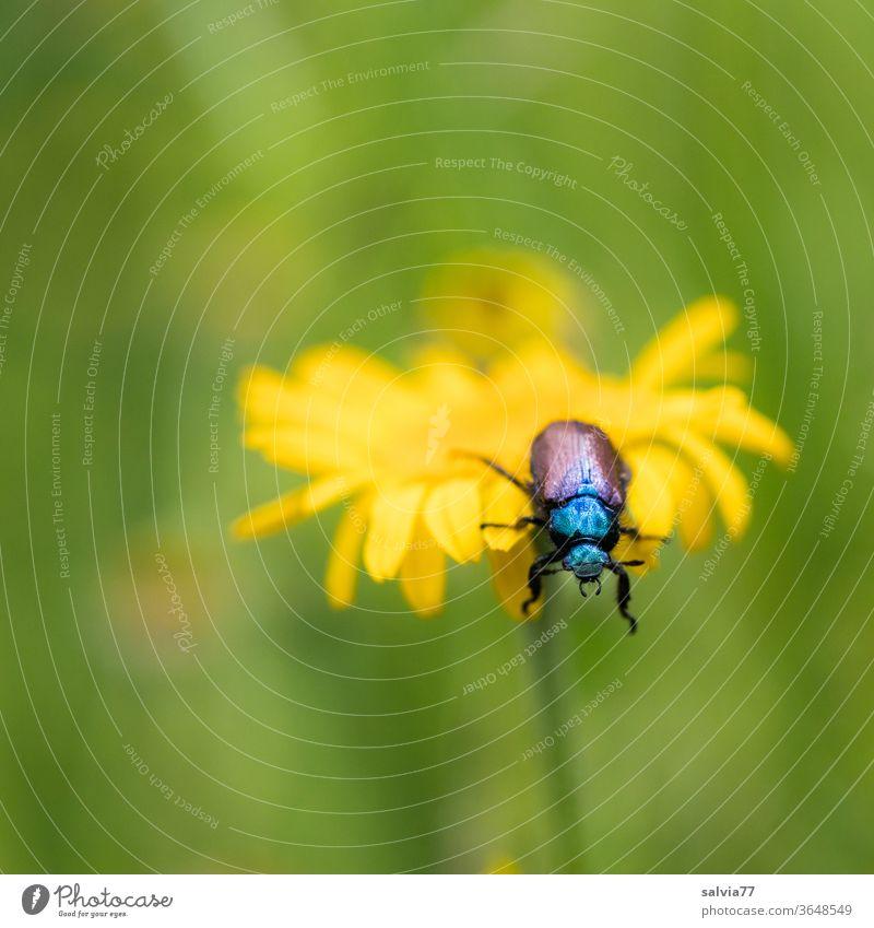 am Abgrund Natur Käfer Blume Färberkamille Sommer Blüte Schwache Tiefenschärfe gelb Pflanze Insekt Zottiger Getreidekäfer krabbeln Garten Tier 1 Makroaufnahme