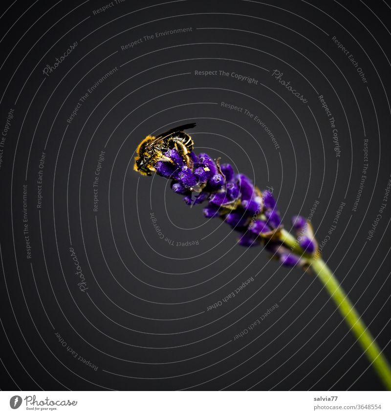 kleine Wildbiene sitzt auf einer Lavendelblüte Biene Natur Insekt Pflanze Blüte Blume Duft blau schwarz Garten Farbfoto Freisteller fleißig Tier Pollen Nektar