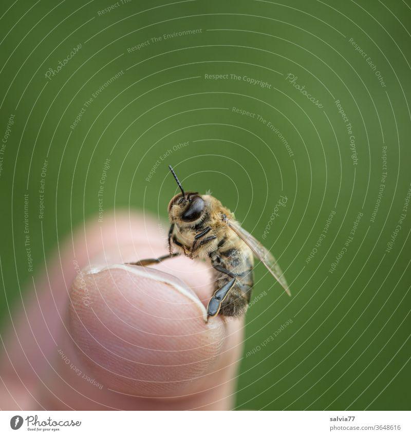 Drohne (männliche Biene) sitzt auf Fingerspitze und betreibt Körperpflege Insekt Makroaufnahme Flügel Hintergrund neutral Freisteller Tierporträt 1 Fühler