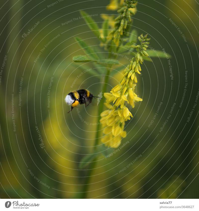 Hummelflug Steinklee fliegen Natur Blume Honigklee gelb grün Sommer Insekt Pflanze Garten Blüte Erdhummel Tag Farbfoto 1 Tier Duft fleißig Blühend